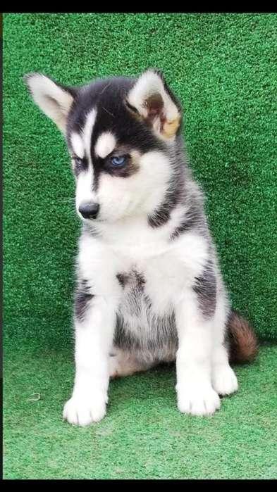 Cachorros Huskys Siberianos en Venta