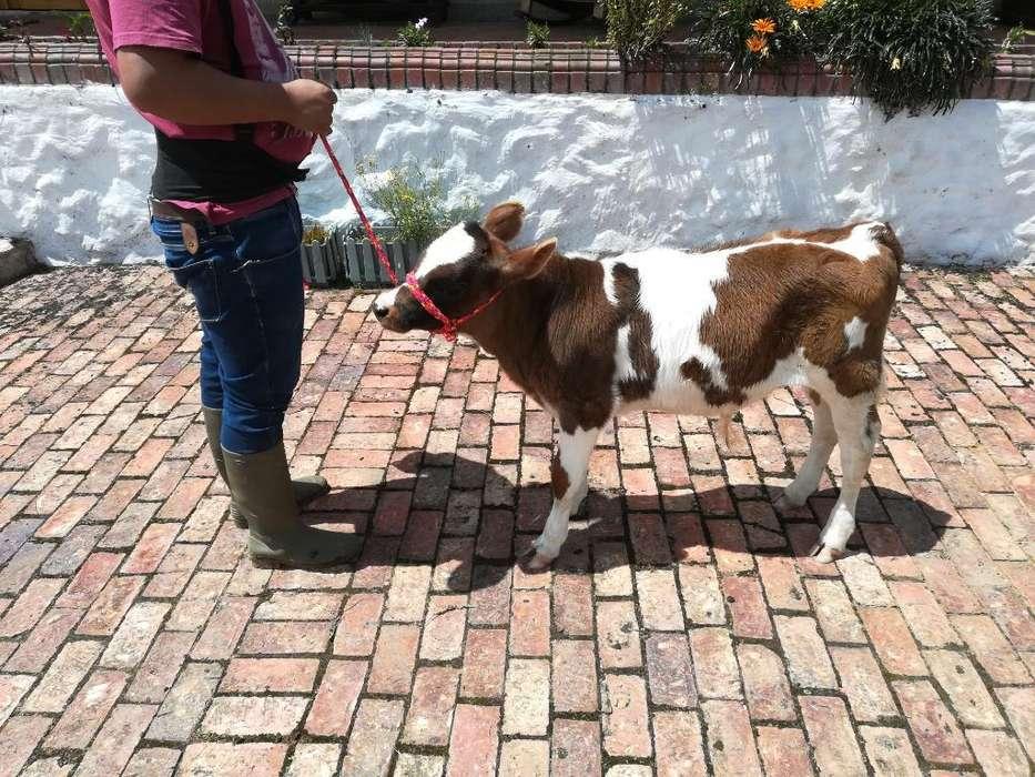 Patiano Holstein