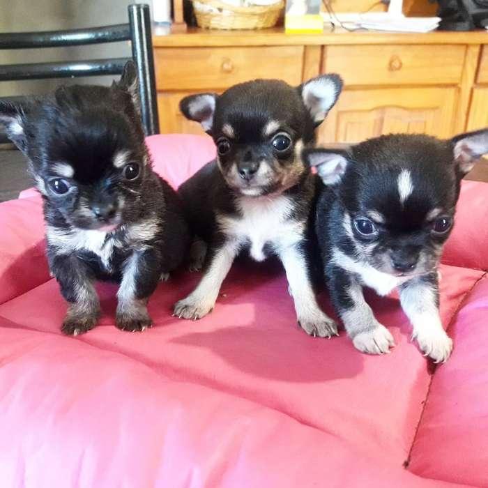 Chihuahuas Hembras Mini