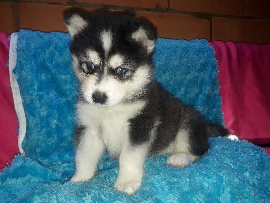 Cachorro Husky Siberian de Manto Gris