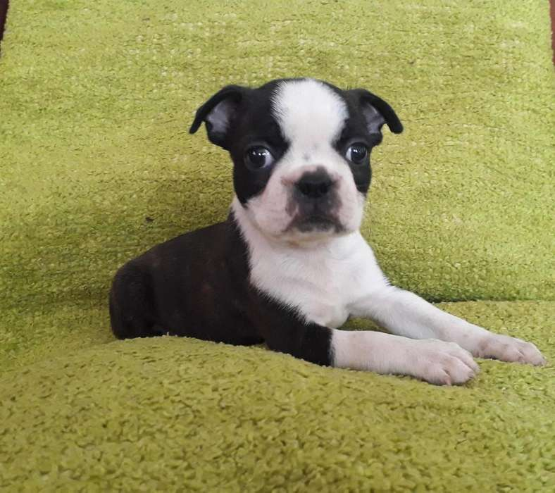 HERMOSO MACHITO BOSTON <strong>terrier</strong> 3168688529