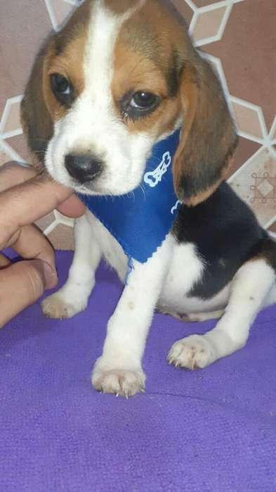Estupendo <strong>beagle</strong> Enanis Tu Cachorro