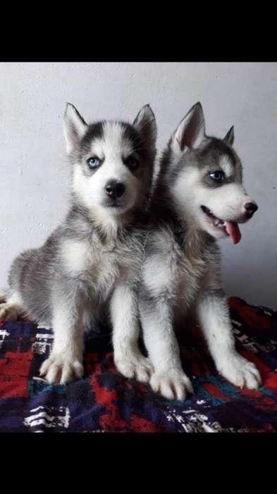 Lobo Siberianos Ojos Azules en Venta