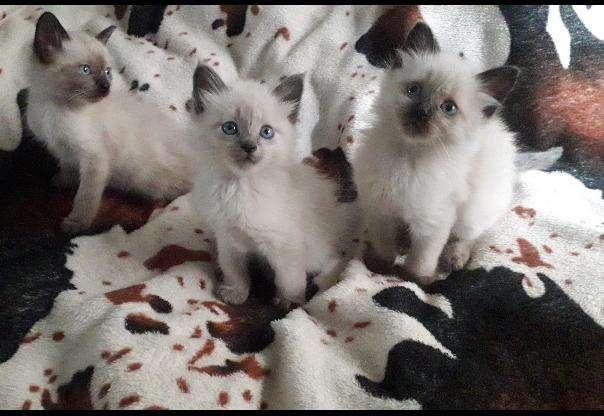 Vendo Hermosos Gatos Siames en Bogota