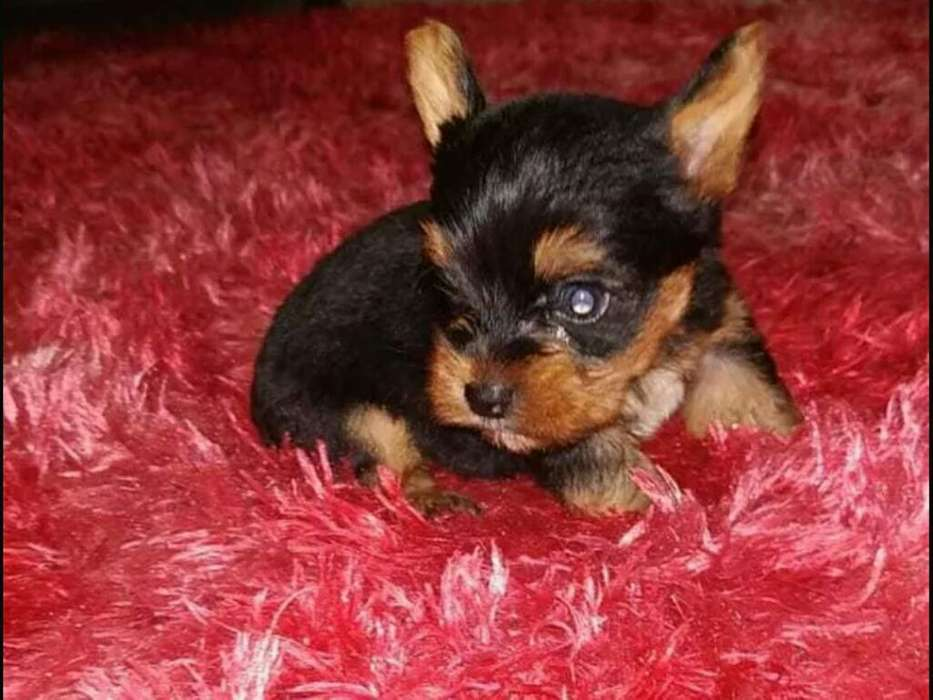 Vendo Cachorro Yorkshire Terrier Mini