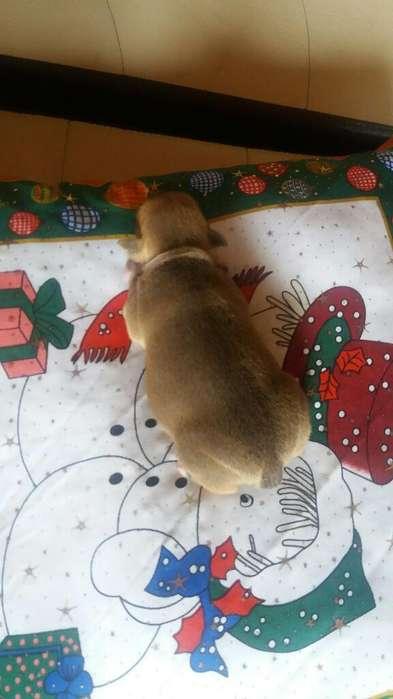 Vendo Perro Pincher