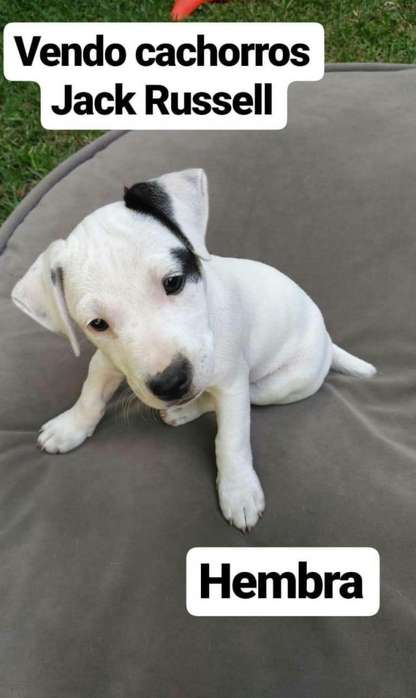 Vendo Jack Russell Terrier
