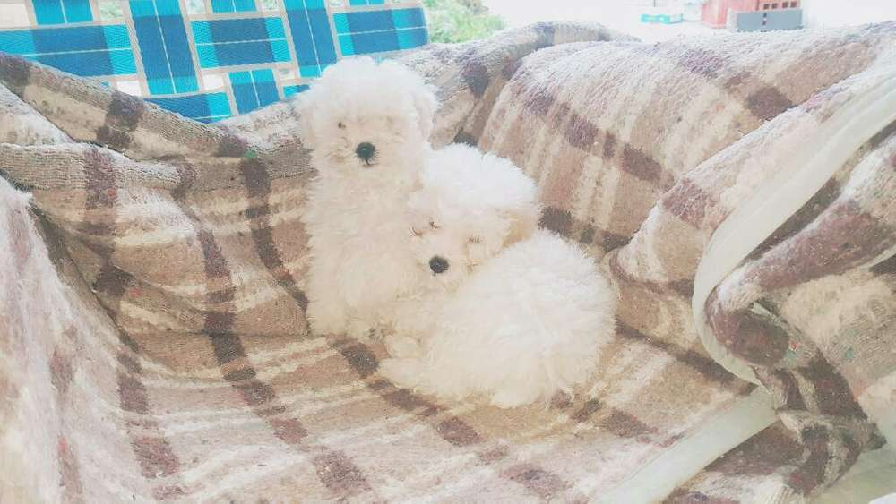 Vendo Caniche Puro hembrita con Libreta