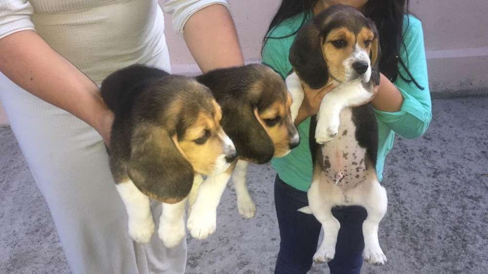 Beagle 100%Puros Machos