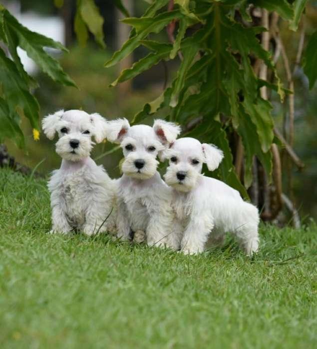 Schnauzer Blancos de Cancan Mascotas