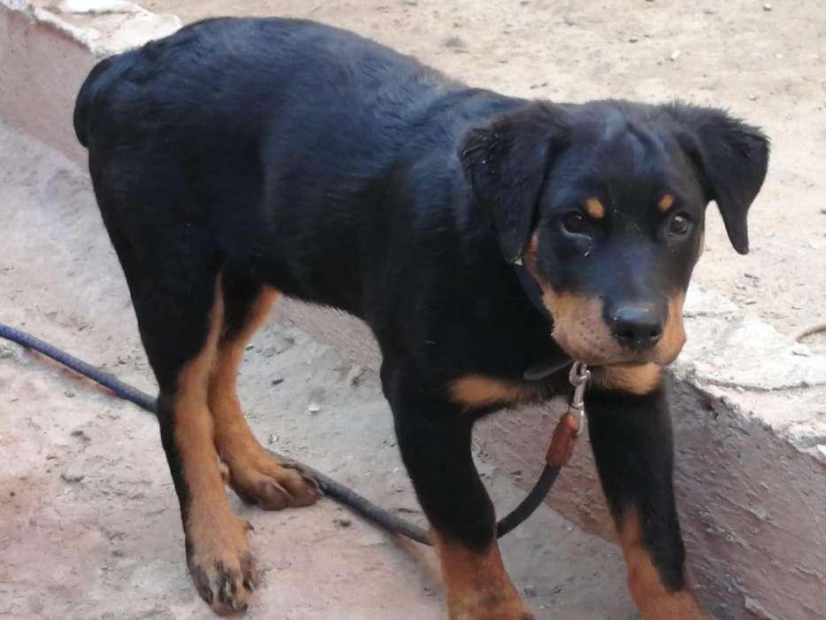 Hermoso Cachorro Rottwailer 4 Meses