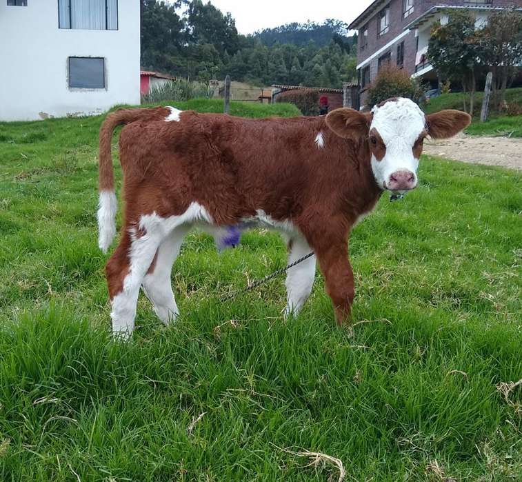 Vendo Ternero Simmental Puro sin Registr