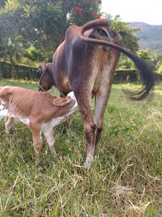 Vendo Vaca Y Ternero.