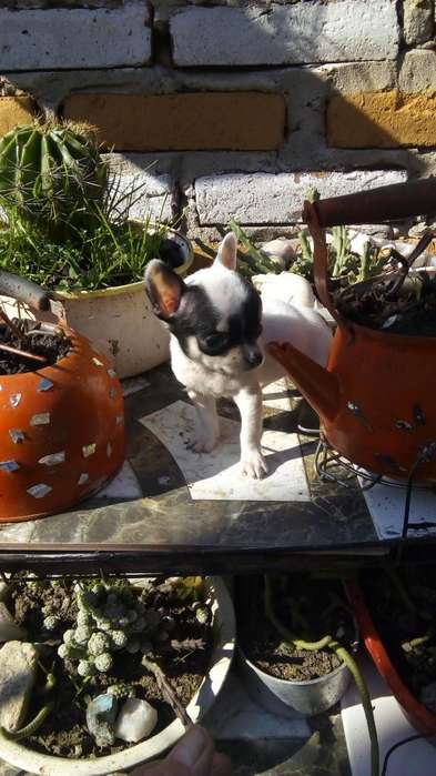 chihuahua hermosa hembra mini de verdad se entrega con libreta