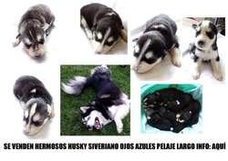 Vendo Hermoso y esponjoso Husky Siberiano Puro Ojos Azules.