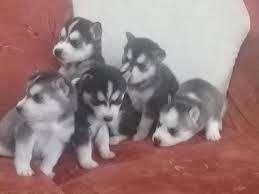 lobos siberiano husky
