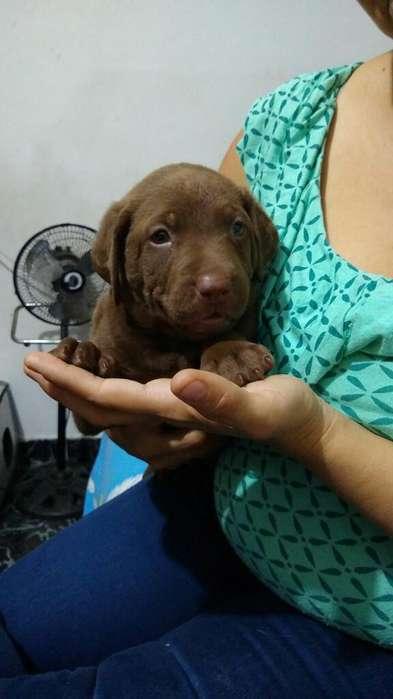 Vendo Cachorro Labrador Chocolate Origin