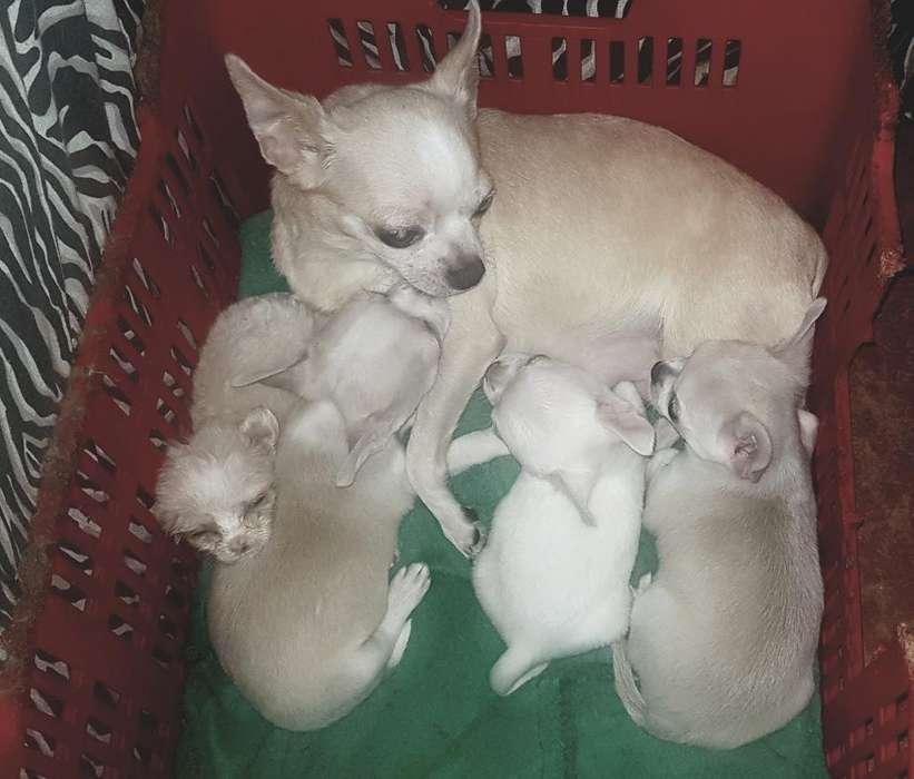 Cachorros Chihuahuas Machitos con Pedigr