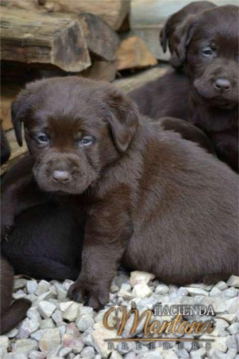 VENTA DE <strong>cachorro</strong>S LABRADOR CHOCOLATE EN TUNJA