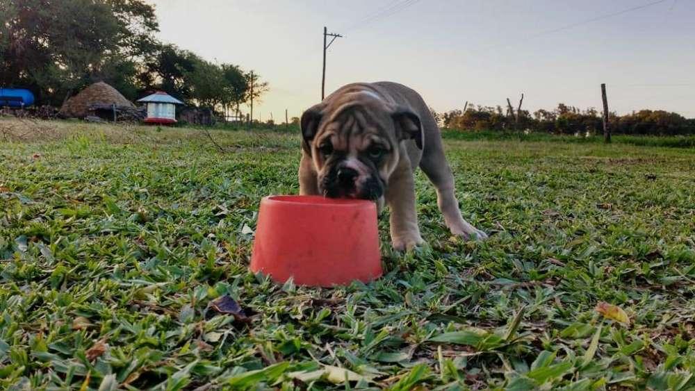 Bulldog Ingles con Fca. Tarjetas.