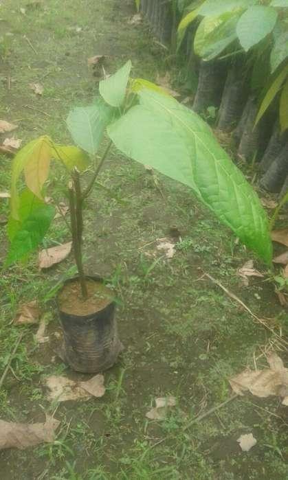 Se Vende Plantas D Cacao Ccn-51 Y Forest