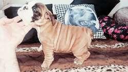 BULL DOG INGLES CACHORROS DISPONIBLES