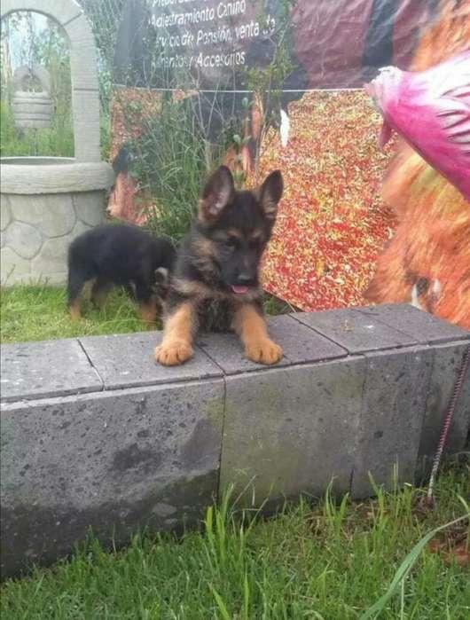Cachorros Pastor Aleman Buena Genetica