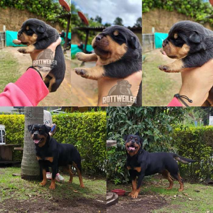 Cachorros <strong>rottweiler</strong>
