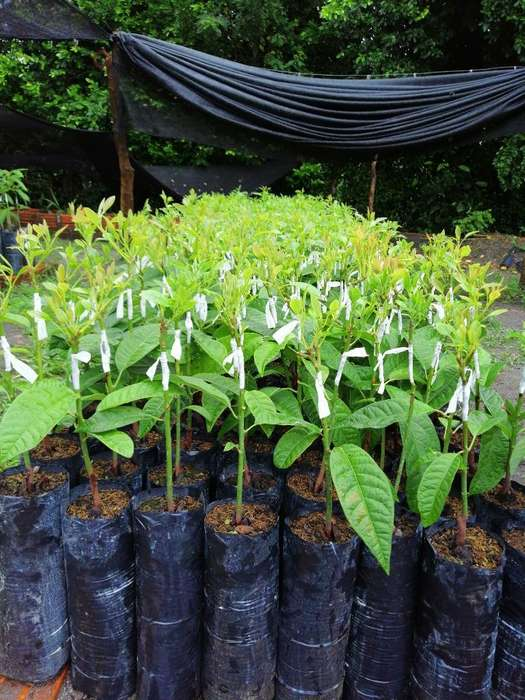 Plantulas Aguacate Hass