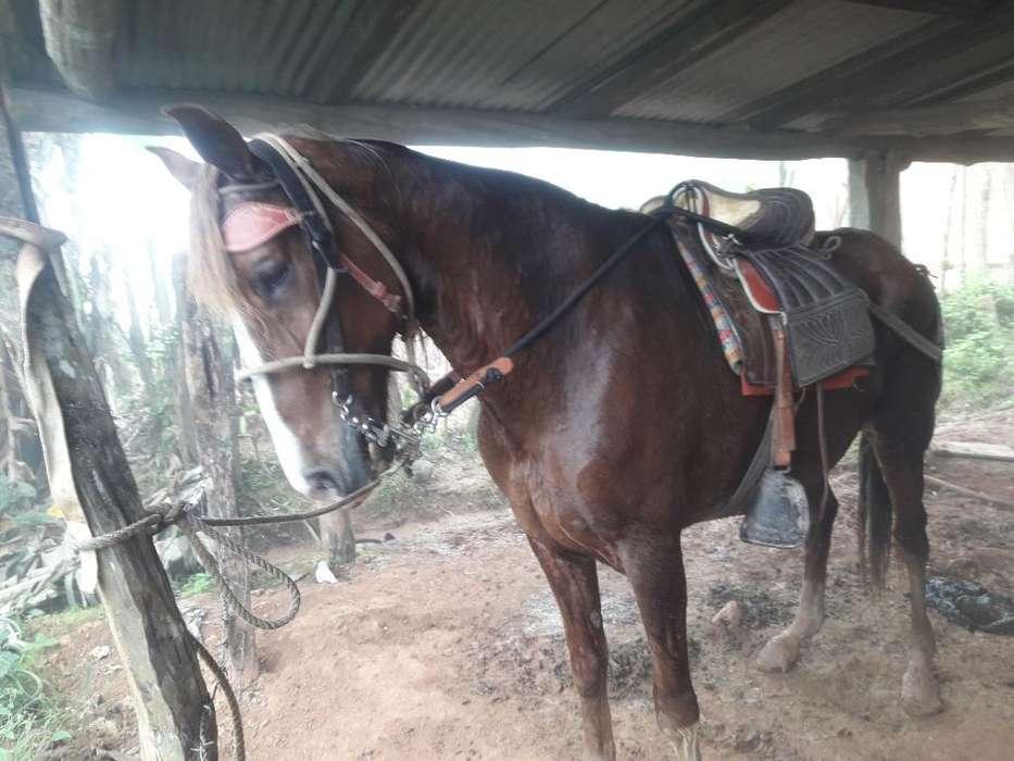 Vendo <strong>caballo</strong> de Paso Peruano