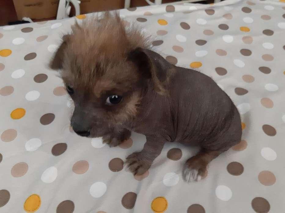Perro peruano raza pequea