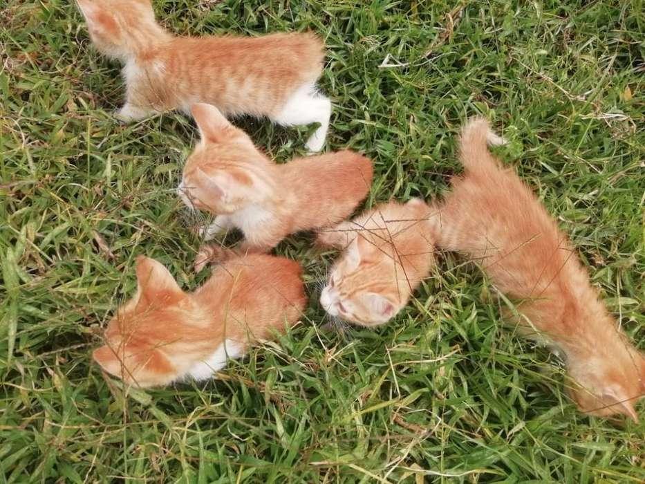 Venta de Hermosos Gatos Angora