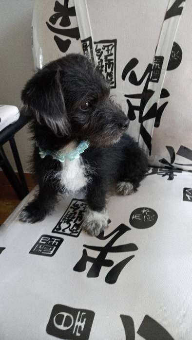 Se Vende Lindo <strong>perrito</strong> French Poodle