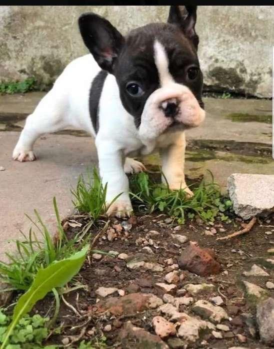 Bulldog Frances con Fca