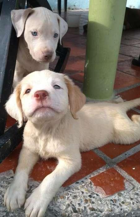 <strong>perros</strong> Pitbull Cachorro