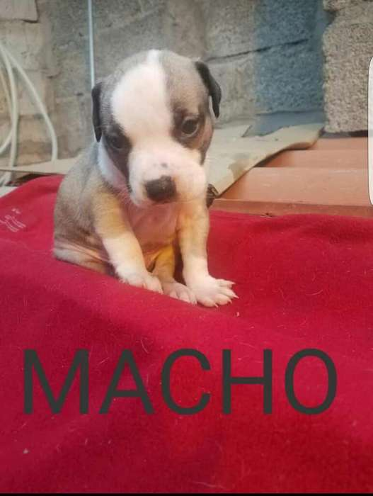 Hermosos Cachorros Pitbull en Venta