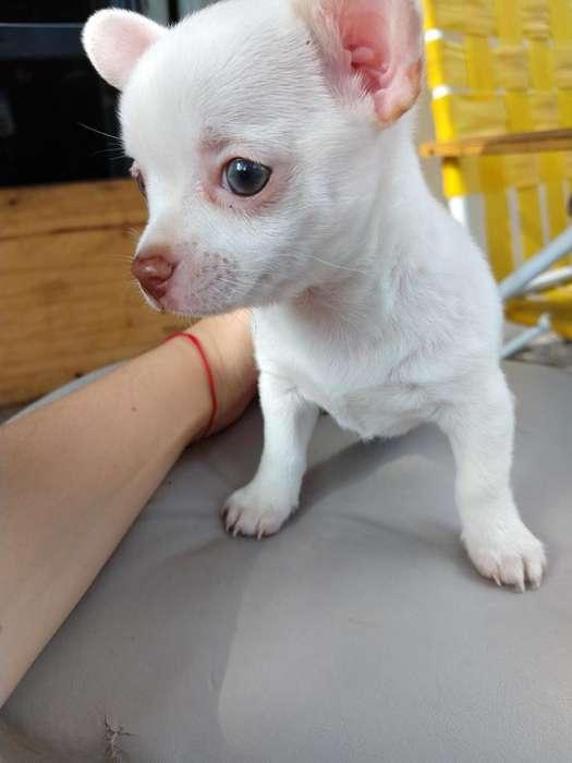 Chihuahua Hembra Pelo Largo