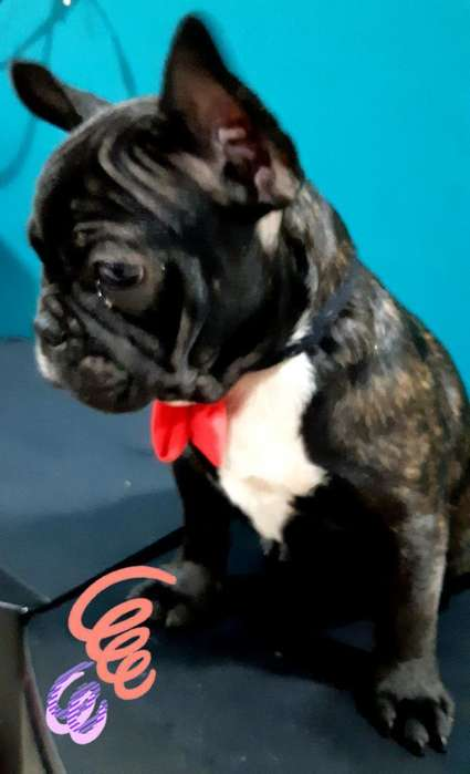Bulldog Frances Ultima Hembra Portadora