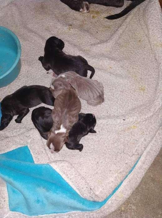 pitbull,1 macho negro y 4 hembras