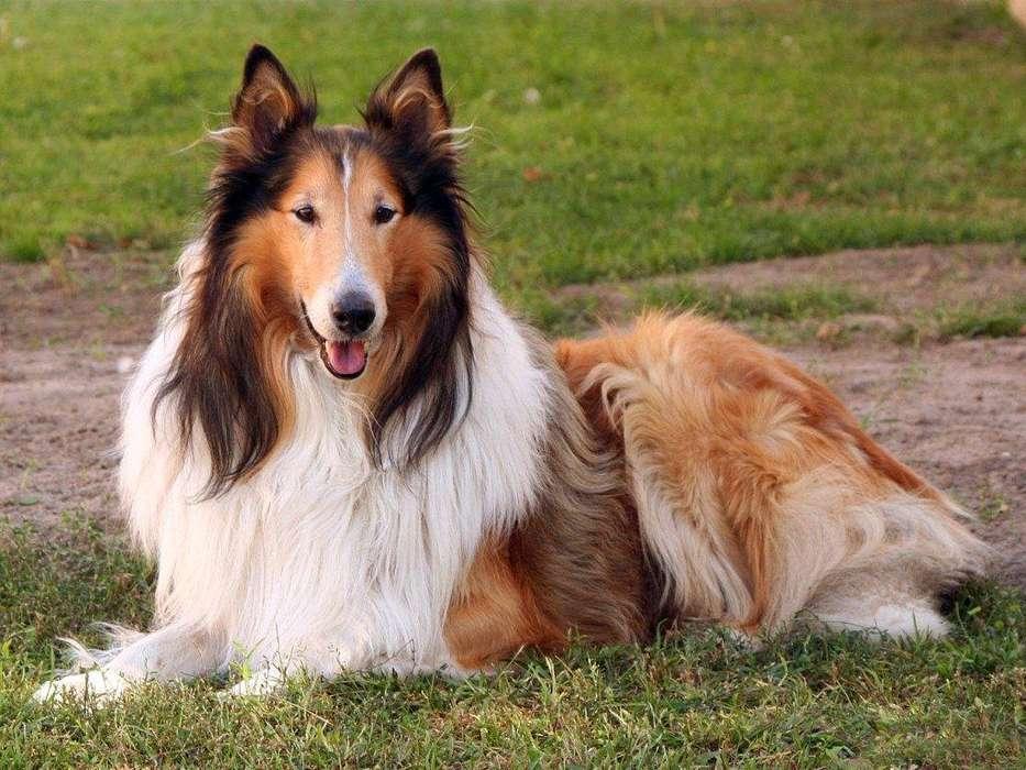 venta <strong>cachorro</strong>s colli perros de pelo largo