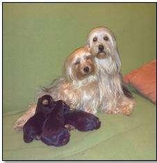 Cachorritos Yorkshire terrier
