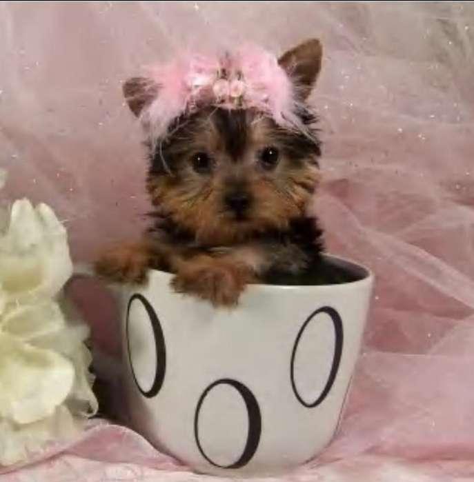 Yorkshire Terrier Hembra Super Mini