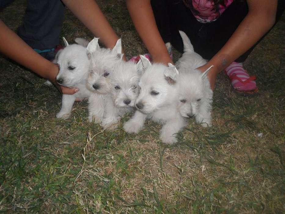 tenemos cachorros en venta de westy <strong>terrier</strong>