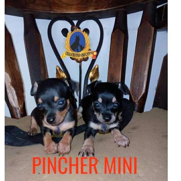 Cachorritos de Pincher Mini Disponibles