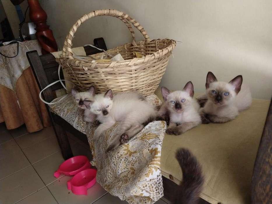 <strong>gato</strong>s Gatitos Siames Puros Muy Hermosos