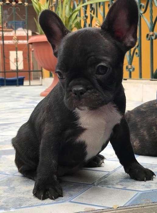 Hermosos <strong>bulldog</strong> francs informacin 0979153433