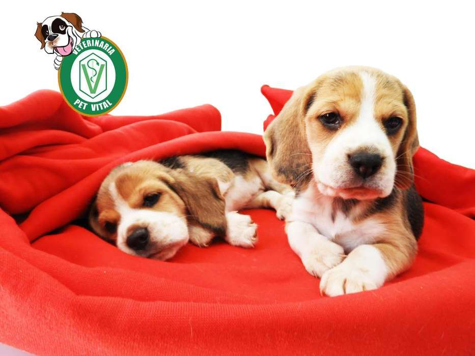 CACHORROS BELLISIMOS BEAGLE TRICOLOR EN PET VITAL !!!
