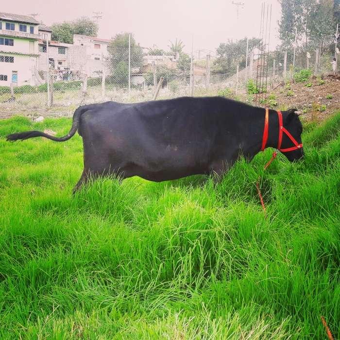Vendo Hermosa <strong>vaca</strong> Preñada