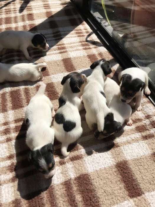 Cachorros Jack Russell Puros