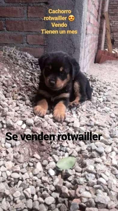 Vendo Rotwailler 1 Mes
